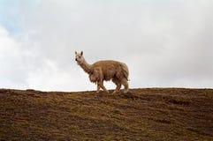 alpaca peru Arkivbilder