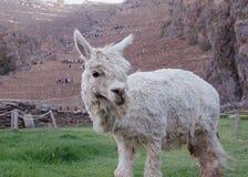 Alpaca in Peru stock afbeelding