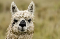 Alpaca. In Peru in the Andes royalty free stock images