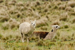 Alpaca. In Peru in the Andes Stock Images