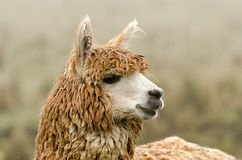 Alpaca. In Peru in the Andes Royalty Free Stock Photography