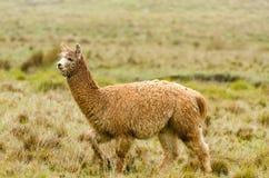 Alpaca. In Peru in the Andes stock photo