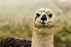Alpaca. In Peru in the Andes stock photography