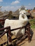 Alpaca in a farm in Peru. Alpaca in a Peru farm. Alpacas and lamas are domesticated animals from the camel family in South America royalty free stock photo