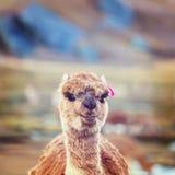 Alpaca Royalty Free Stock Photo