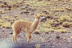 Alpaca. Peruvian alpaca in Andes Stock Photography