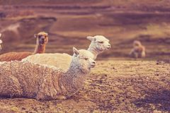 Alpaca Stock Photo