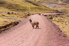 Alpaca. Peruvian alpaca in Andes Royalty Free Stock Images
