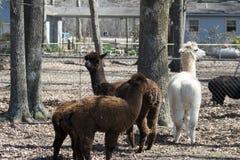 Alpaca peruviana - pacos del Vicugna Fotografia Stock Libera da Diritti