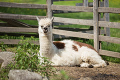 Alpaca in a petting zoo Stock Image