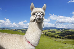 Alpaca on the picturesque landscape background Royalty Free Stock Images