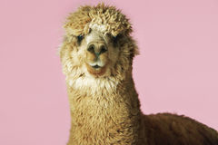 Alpaca On Pink Background Royalty Free Stock Photos