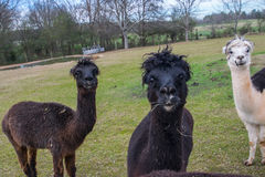 Alpaca a Play2 Immagine Stock