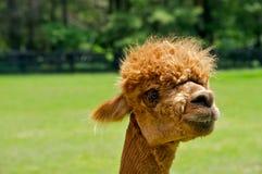 Alpaca Portrait Royalty Free Stock Photos