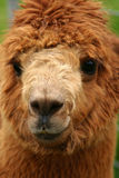Alpaca portrait 2. Close up of an Alpaca face. What a cuty! One of a series of 5 images Stock Images