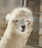 Alpaca portrait Stock Image