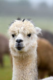 Alpaca portrait Royalty Free Stock Images