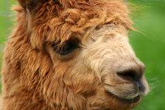Alpaca portrait. A cute Alpaca on a Alpaca ranch. One of a series of 5 images Stock Image