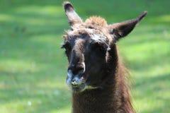 Alpaca. Portrait of a brown alpaca Royalty Free Stock Images