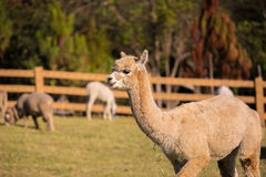 Alpaca Portrait Royalty Free Stock Photos