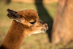 Alpaca Portrait. A brown and white alpaca, with green field behind Stock Photo
