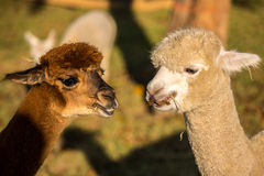 Alpaca Portrait Royalty Free Stock Photo
