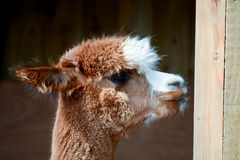Alpaca portrait Royalty Free Stock Image