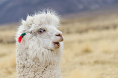 Alpaca Portrait Stock Images