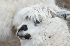 Alpaca Portrait Royalty Free Stock Images
