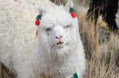 Alpaca Portrait Stock Images