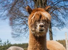 Alpaca portrait Stock Photos