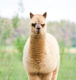 Alpaca portrait Royalty Free Stock Photography