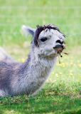 Alpaca portrait Royalty Free Stock Image