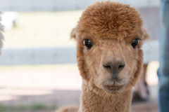 Alpaca portrait in the farm Royalty Free Stock Photography