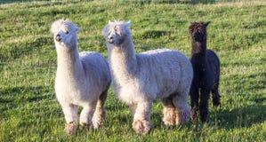 Alpaca portrait Royalty Free Stock Photo