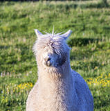 Alpaca portrait Stock Photos