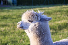 Alpaca portrait Stock Photo