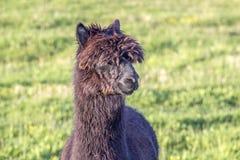Alpaca portrait Stock Photography