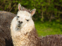 Alpaca portrait looking at camera with smiley face Royalty Free Stock Photos