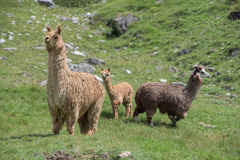 Alpaca portrait while looking at you Stock Images
