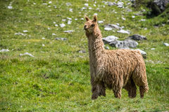 Alpaca portrait while looking at you Royalty Free Stock Image