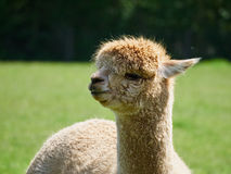 Portrait of an Alpaca Royalty Free Stock Photo