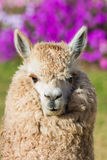Alpaca portrait peruvian Andes  Cuzco Peru Royalty Free Stock Photography