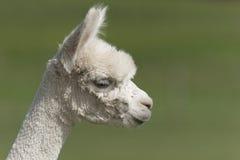 Alpaca. Portrait - smaller animal than the Llama stock photos