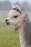 Alpaca in profiel Royalty-vrije Stock Foto