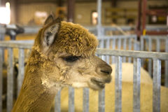 Alpaca Profile Stock Images