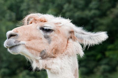 Alpaca Profile Stock Photos