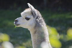 Alpaca. A profile of an alpaca with a pleasant expression chewing a piece of grass Royalty Free Stock Photos