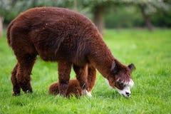 Alpaca que come la hierba verde Fotografía de archivo