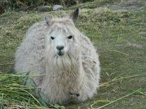 Alpaca que descansa sobre la hierba Fotos de archivo